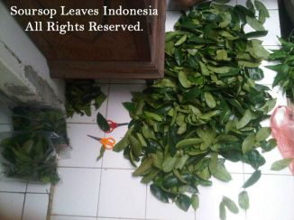 Fresh_Soursop_Leaves_Bulk_ (1)