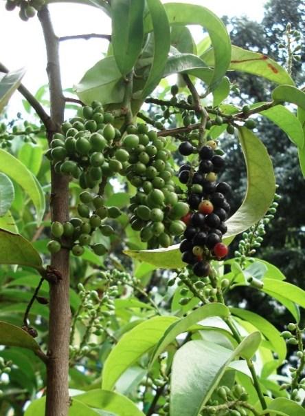 buah-makassar