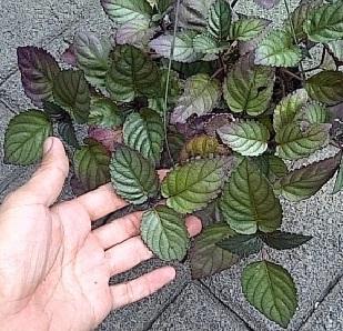 daun-ungu