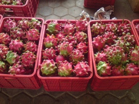 dragon-fruit-2